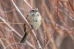 American Tree Sparrow (Gf220warbler) Tags: idaho sparrow spizella emberizidae passerine songbird