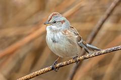American Tree Sparrow (Gf220warbler) Tags: idaho emberizidae spizella sparrow passerine songbird