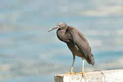 岩鷺, Pacific Reef Egret, Egretta sacra, (Jeffreycfy) Tags: birds birding wildlife nature animals nikon d500 nikkor200500mmf56e tc14eiii 鷺科 egrets ardeidae 岩鷺 pacificreefegret egrettasacra 涉禽 wadingbirds