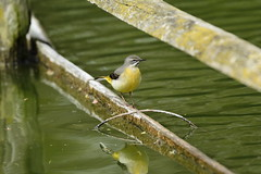Chester Zoo (512) (rs1979) Tags: greywagtail wagtail chesterzoo zoo chester