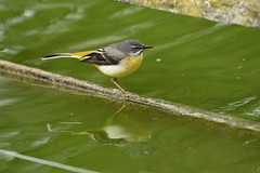 Chester Zoo (534) (rs1979) Tags: greywagtail wagtail chesterzoo zoo chester