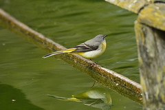 Chester Zoo (525) (rs1979) Tags: greywagtail wagtail chesterzoo zoo chester