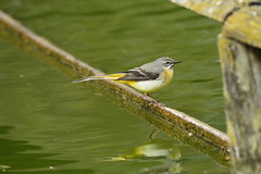 Chester Zoo (521) (rs1979) Tags: greywagtail wagtail chesterzoo zoo chester