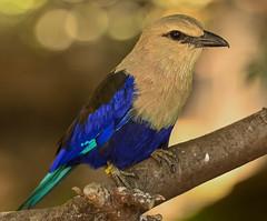 Blue-Bellied Roller - Wings of the World Aviary (Joseph Deems) Tags: sandiegoz6820262019 zoosofnorthamerica san diego zoo safari park