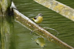 Chester Zoo (511) (rs1979) Tags: greywagtail wagtail chesterzoo zoo chester