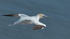 Gannet (HH) (Hammerchewer) Tags: gannet bird seabird wildlife outdoor