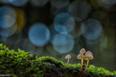 08112019-DSC_0064 (vidjanma) Tags: 4champis champignons flares mousse