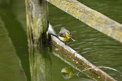 Chester Zoo (478) (rs1979) Tags: greywagtail wagtail chesterzoo zoo chester