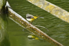 Chester Zoo (475) (rs1979) Tags: greywagtail wagtail chesterzoo zoo chester