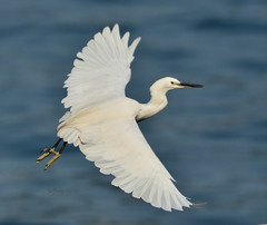 小白鷺, Little Egret, Egretta garzetta, (Jeffreycfy) Tags: birds birding wildlife nature animals nikon d500 nikkor200500mmf56e tc14eiii 鷺科 egrets ardeidae 小白鷺 littleegret egrettagarzetta 涉禽 wadingbirds