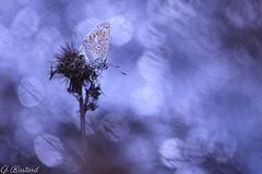 Bleu azuré (Gaël B) Tags: papillon butterfly farfalle proxy macro makro insecte insekt bug nature natür