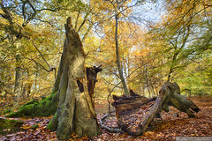 Natural sculpture (EVERY SO OFTEN) Tags: trees beech ashridge autumn fall outdoors england uk november woods leaves trunks daylight sonya7r sculpture natural nature decay woodland landscape chilterns