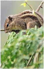 'silence is the language of god, all else is poor translation.' _ Rumi (Ramalakshmi Rajan) Tags: squirrel animals animal nikon nikond5000 nikkor70300mm inmygarden quotes nature