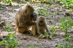 Manyara (Enrica F) Tags: manyara tanzania áfrica nikon wildlife nature