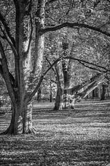 19-11_T2CF7711-Edit (Jacek P.) Tags: poland polska kraków planty jesień autumn trees drzewa fujifilm silverefexpro blackwhite bw monochrome