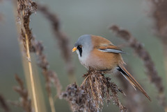 Bearded Tit (Gary Vause) Tags: staidansrspb swillingtonings rspb reeds reedbed phragmites beardedreedling bird panurusbiarmicus yorkshire yorkshirebirds birdsofyorkshire