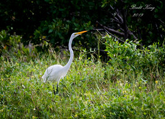 a great egret (dbking2162) Tags: great egrets eyes explore heron herons hunting white green nature nationalgeographic wildlife water wading florida birds bird beautiful beauty