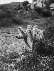 Joshua Tree 6 (Lennart Arendes) Tags: analog kodak trix 400 joshua tree national park california usa zenza bronica etrs 75mm medium format 120 645 plants black white shadow light
