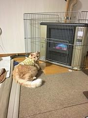 Norio Communing with Mr. Heater (sjrankin) Tags: 16november2019 edited animal cat norio heater floor livingroom tunic carpet gate fence kitahiroshima hokkaido japan