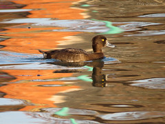 Tufted Duck ♀ in the evening light. (Vitaly Giragosov) Tags: blacksea crimea sevastopol tuftedduck aythyafuligula waterbird чёрноеморе севастополь крым россия хохлатаячернеть