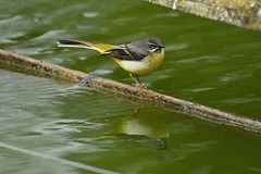 Chester Zoo (528) (rs1979) Tags: greywagtail wagtail chesterzoo zoo chester