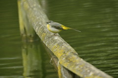 Chester Zoo (551) (rs1979) Tags: greywagtail wagtail chesterzoo zoo chester