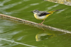 Chester Zoo (535) (rs1979) Tags: greywagtail wagtail chesterzoo zoo chester