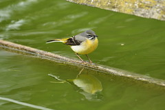 Chester Zoo (533) (rs1979) Tags: greywagtail wagtail chesterzoo zoo chester
