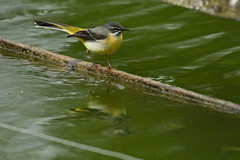 Chester Zoo (527) (rs1979) Tags: greywagtail wagtail chesterzoo zoo chester