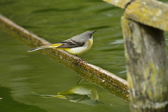 Chester Zoo (524) (rs1979) Tags: greywagtail wagtail chesterzoo zoo chester