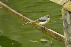Chester Zoo (523) (rs1979) Tags: greywagtail wagtail chesterzoo zoo chester