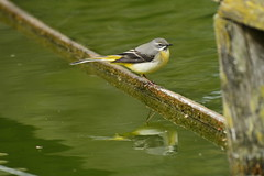 Chester Zoo (522) (rs1979) Tags: greywagtail wagtail chesterzoo zoo chester