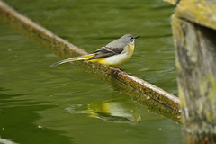 Chester Zoo (520) (rs1979) Tags: greywagtail wagtail chesterzoo zoo chester
