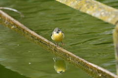 Chester Zoo (519) (rs1979) Tags: greywagtail wagtail chesterzoo zoo chester
