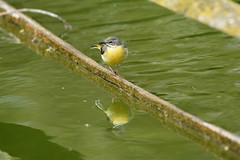 Chester Zoo (518) (rs1979) Tags: greywagtail wagtail chesterzoo zoo chester
