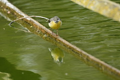 Chester Zoo (516) (rs1979) Tags: greywagtail wagtail chesterzoo zoo chester