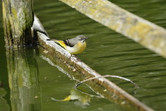 Chester Zoo (509) (rs1979) Tags: greywagtail wagtail chesterzoo zoo chester