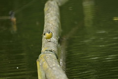 Chester Zoo (497) (rs1979) Tags: greywagtail wagtail chesterzoo zoo chester