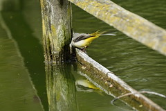 Chester Zoo (479) (rs1979) Tags: greywagtail wagtail chesterzoo zoo chester