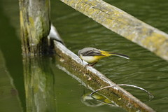Chester Zoo (476) (rs1979) Tags: greywagtail wagtail chesterzoo zoo chester