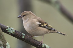 Chaffinch (jamiemcd17) Tags: chaffinch nature nikon wild wildlife bird
