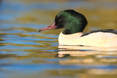 Male Goosander (jamiemcd17) Tags: goosander malegoosander nature nikon duck bird pond wildlife wild