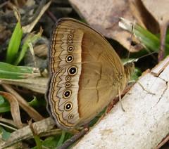 Mycalesis terminus, Bush Brown