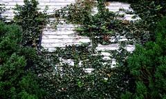 Ivy Covered (pjpink) Tags: summer virginia washington july littlewashington 2019 abandoned overgrown pjpink 2catswithcameras