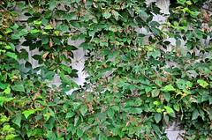 Vine Growth (pjpink) Tags: littlewashington washington virginia july 2019 summer pjpink 2catswithcameras abandoned overgrown