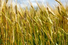 CDC Fraser Barley 2 (Bracus Triticum) Tags: cdc fraser barley 2 アルバータ州 alberta canada カナダ 8月 八月 葉月 hachigatsu hazuki leafmonth 2019 reiwa summer august