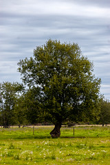 Pickardville Tree (Bracus Triticum) Tags: pickardville tree アルバータ州 alberta canada カナダ 8月 八月 葉月 hachigatsu hazuki leafmonth 2019 reiwa summer august