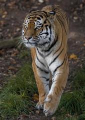 Walking Tall (Jonnyfez) Tags: vladimir vlad siberian amur tiger big cat yorkshire wildlife park jonnyfez portrait d850