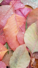 Autumn colors (mrholle) Tags: 4552 52weeks 52wochen blatt cotinuscoggygria herbst jahreszeit p52 perückenstrauch pflanze project52 projekt52 strauch autumn bunt bush colorful colourful fall fustet leaf multicolored multicoloured plant season shrub