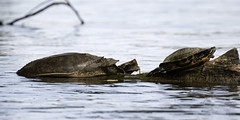 Soft-shelled and Painted Turtles - Lake Petersburg (emace) Tags: paintedturtle nature animal wildlife reptile lakepetersburg centralillinois menardcounty spring